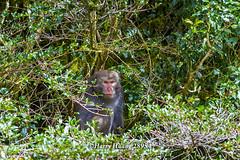 Harry_28954,,,,,,,,,,,,, (HarryTaiwan) Tags: monkey nationalpark nikon taiwan    d800 nantou          yushannationalpark  formosanrockmonkey      harryhuang hgf78354ms35hinetnet adobergb