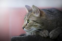 Mek (Katarina Drezga) Tags: cats pets animals cat domesticcat petphotography catphotography nikond3100 nikkor55300mm4556gvr