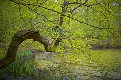 Epping Forest (I M Roberts) Tags: eppingforest spring pond ducks lush northeastlondon ancientforest fujix100s