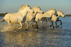 40081087 (wolfgangkaehler) Tags: horse white france water french europe european running wetlands marsh splash herd marshland wetland camargue southernfrance splashing marshlands galloping 2016 whitehorses camarguehorses