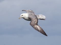 Fulmar (no1chrism) Tags: nose scotland tube fulmar glacialis fulmarus