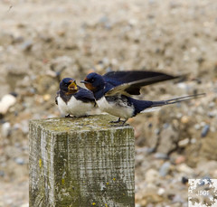 East Lane, Bawdsey (JBOT | Adaptive Disability Lifestyle) Tags: bird nature coast suffolk post nest wind wildlife pair tail birding feathers coastal lane easy swallow swallows bawdsey migrant
