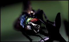Greenbottle Macro V (Josh Rokman) Tags: insect fly greenbottle flyinginsect greenbottlefly