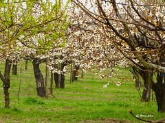 guas Frias (Chaves) - ... cerdeiras (cerejeiras) floridas ... (Mrio Silva) Tags: primavera portugal flor maio chaves aldeia trsosmontes cerejeiras 2016 illustrarportugal guasfrias mriosilva cerdeiras lumbudus