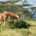 The Reticulated Giraffe