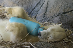 Anana asleep with her bottle (ucumari photography) Tags: bear animal mammal zoo oso nc north january polarbear carolina anana eisbr ursusmaritimus  oursblanc 2016 osopolar  ourspolaire orsopolare jkarhu  ucumariphotography sbjrn dsc5742 niedwiedpolarny