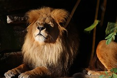 Winter Sun (Shanaro) Tags: sun zoo afternoon lion zen enjoying münster allwetter
