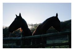 V (-klik-) Tags: horses horse silhouette
