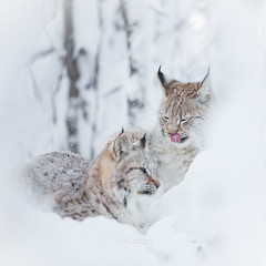Sisters (nemi1968) Tags: winter portrait white snow animal animals tongue closeup sisters cat canon snowflakes play ngc kittens npc cubs licking lynx gaupe langedrag winterscene markiii catfamily eurasianlynx lynxcub lynxcubs specanimal lynxkittens canon5dmarkiii