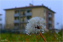 only drops (Giorgio Finessi) Tags: winter nature drops nebbia inverno rugiada gocce