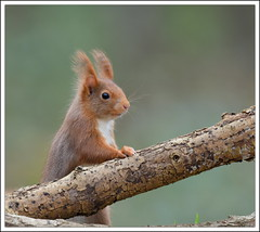 au bistrot (tavernier!!! une noisette) (guiguid45) Tags: nature nikon animaux forêt écureuil sauvage loiret mammifères 500mmf4 d810