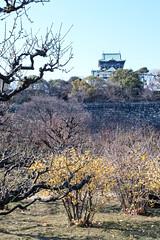 Winter sweet at Osaka Castle (shinichiro*) Tags: winter flower japan january osaka crazyshin  wintersweet osakacastle plumblossoms  2016 plumgrove   sd1m sigma1770mmf284dcmacrohsm sigmasd1merrill 20160114sdim1012