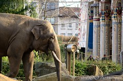 Aziatische olifant - Elephas maximus - Asian Elephant (MrTDiddy) Tags: elephant male asian mammal zoo jung antwerp ming antwerpen zooantwerpen maximus olifant tempel mannelijk elephas zoogdier mingjung egyptische aziatische