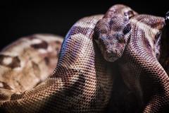 Kurven und Kopf (Fotos4RR) Tags: animal zoo snake tiergarten schlange snakehead schlangenkopf
