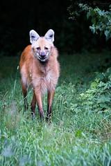 maned wolf (Cloudtail the Snow Leopard) Tags: dog animal munich mnchen mammal zoo wolf tierpark tier hellabrunn sugetier wildhund maned brachyurus mhnenwolf chrysocyon