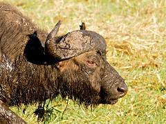 Facial (Unvoyageur) Tags: africa wild animal buffalo mud wildlife safari botswana chobe afrique boue synceruscaffer africanbuffalo chobenationalpark animauxsauvages animauxdafrique buffledafrique bufflenoirdessavanes