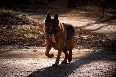 Masha (BelgiumOnePoint) Tags: dog chien animal cane female eyes nikon yeux germanshepherd cutegirl masha contrejour backlighting c1 bergerallemand pastoretedesco captureone fortdesoigne d7100 capturenx2 zonienwood