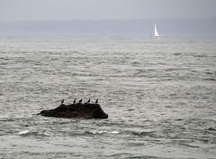 birds on a rock, Alderney (neilalderney123) Tags: seascape france water birds landscape boat olympus omd neilhoward