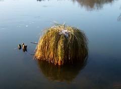 Coussin d'eau (MAPNANCY) Tags: eau couleurs rivire bleu pouf herbe coussin
