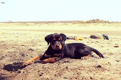 Kiba (Fernando Lecaros) Tags: dog costa peru mar cusco playa arena perro cachorro pacifico perrito oceano pimentel