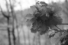 Spring leaves (pszcz9) Tags: blackandwhite bw tree nature monochrome closeup leaf spring oak sony poland polska wiosna przyroda li drzewo beautifulearth db zblienie