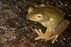 Hyloscirtus palmeri - Palmer's Treefrog (J. Sebastian Moreno) Tags: colombia frog pacifico valledelcauca hyloscirtus palmerstreefrog hyloscirtuspalmeri