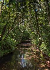 Palau Rain Forest (Warriorwriter) Tags: bridge trees green water forest river island tropical palau pw micronesia oceania ngiwal