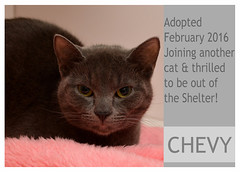 Chevy-Adopted (Ali Crehan) Tags: cat february shelter adopted 2016