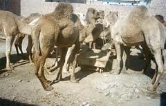 Camels for sale, Multan, Pakistan (Animal People Forum) Tags: pakistan animals market sale sell mammals workinganimals camels multan
