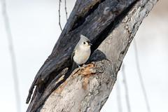 quabbinwinter2016-439 (gtxjimmy) Tags: winter bird mouse nikon tit massachusetts newengland reservoir tufted quabbin tamron songbird quabbinreservoir d600 watersupply nikond600 150600mm