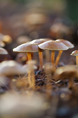 The Deceivers (smir_001 (on/off)) Tags: park uk winter england plants abstract macro nature mushroom yellow closeup mushrooms flora december bokeh arboretum fungi fungus british colourful brownish westonbirtarboretum bluish deceivers southgloucestershire laccarialaccata forestrycommission laccaria agarics laccata canoneos7d thedeceiver waxylaccaria