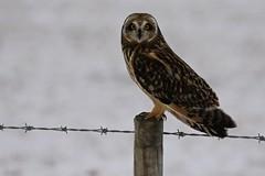 Brandugla - Shorteared Owl (Helga Guðmundsdóttir) Tags: brandugla