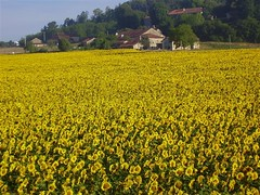 Sunflowers outside Brantome