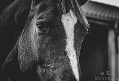 Pferde (dabitodrifting@ymail.com) Tags: bw horse white black monochrome animals vintage tiere faded pferd schwarz weis