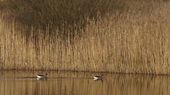 Grauwe ganzen in gouden kader (nikjanssen) Tags: nature explore gees limburg grauweganzen natuurgebiedmariahofbeek