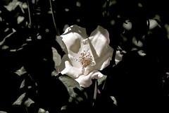Bulla Rose. (maginoz1) Tags: flowers abstract canon flora contemporary australia melbourne manipulation victoria blooms g3x photodelic summerfebruary2016 rosegardenbulla
