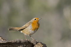 _NAT4001 (VictorD7000) Tags: espaa nature fauna libertad erithacusrubecula aves alicante escalona petirrojoeuropeo nikond7200 sigma150600sport sierradeescalona