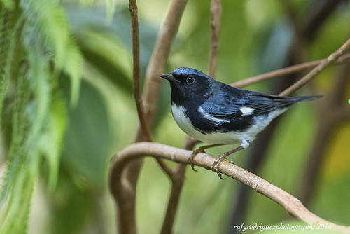 Setophaga caerulescens-Black-throated Blue Warbler-Reinita Azul-male