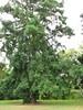 starr-120606-6857-Castanospermum_australe-flowering_habit-Kahanu_Gardens_Hana-Maui (Starr Environmental) Tags: castanospermumaustrale