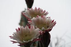 Cereus flowers (Runabout63) Tags: flower cacti cereus