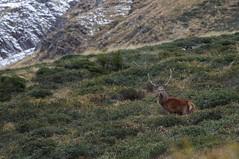 Male red deer (Morze.Stefano) Tags: red male deer rosso cervo cervus elaphus