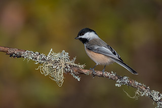 Black capped chickadee 04
