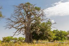 A baobab tree near Napié (Ulrich Münstermann) Tags: africa pflanzen afrika malvaceae ci planten côtedivoire ivorycoast baobabtree angiosperms eudicots adansonia rosids savanes adansoniadigitata malvales floweringplantsangiosperms napié