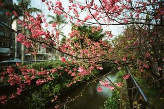 Sakura Time / leica_n_16087_SA21F34_sakura_K160
