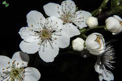 prugnolo selvatico (Prunus spinosa L (mirkopizzaballa) Tags: macro primavera nikon l fiore colori prunus selvatico caldo spinosa prugna prugnolo ianchi nikond6200