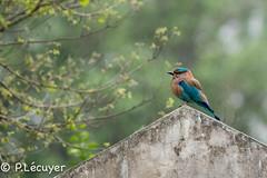 Rollier indien (Philippe Lcuyer) Tags: pakistan bird canon lowlight oiseau avifauna islamabad rawallake indianroller coraciasbenghalensis coraciidae basselumire canon7dmarkii rollerindien