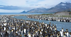 King Penguin Colony St. Andrew's Bay (Barbara Evans 7) Tags: st georgia penguin bay king andrews south antarctica barbara rookery evans7