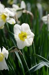 Daffodil (Niki Gunn) Tags: flowers flower macro pentax daffodil april tamron 90mm daffodils k5 tamron90mm 2016 tamron90mmf28 tamron90mmmacro tamronspaf90mmf28