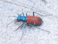 Cicindela splendida, male (tigerbeatlefreak) Tags: insect nebraska tiger beetle splendida coleoptera cicindela carabidae cicindelinae
