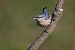 Strike A Pose (Luis-Gaspar) Tags: bird portugal animal nikon iso400 ave f56 nuthatch passaro sittaeuropaea trepadeira d60 trepadeiraazul eurasiannuthatch castelodevide 11250 55300